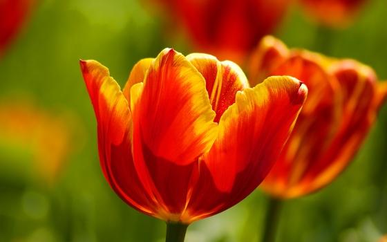 Tulips, Prostějov